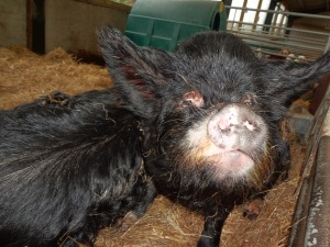 Snuffly Pig Face