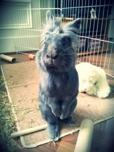 House rabbit pet care
