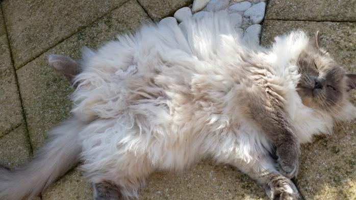 Cat too hot in the sun