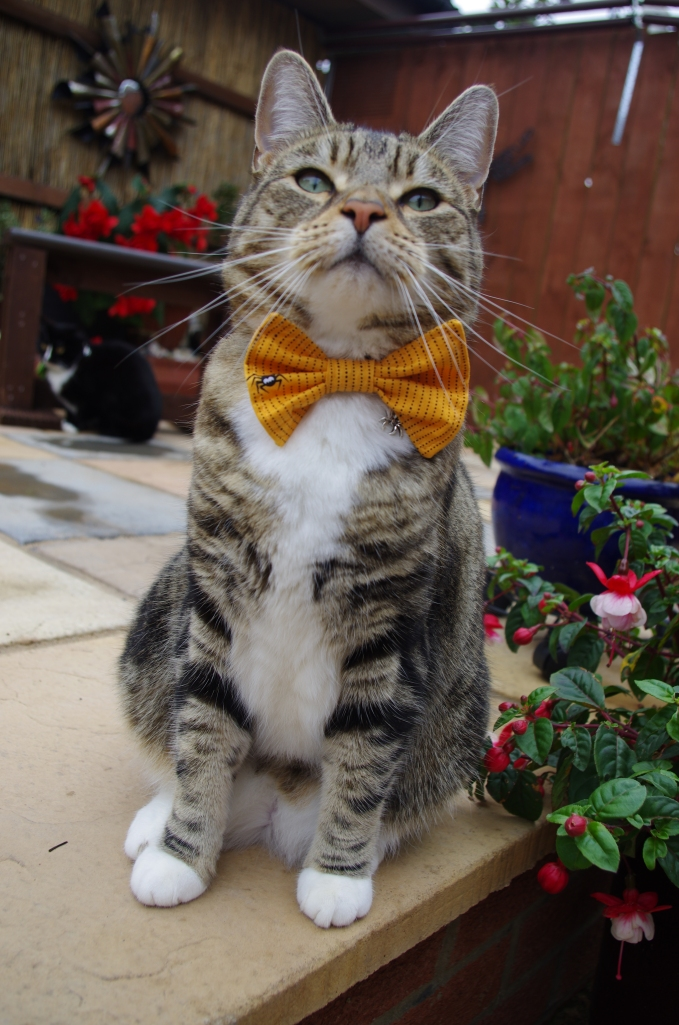 Orange halloween bow tie cat collar with spider